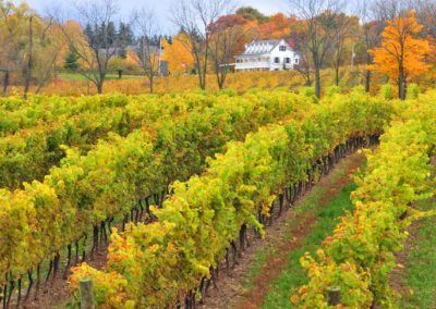 Harvesting Grapes Winery Tour in Niagara Wine Country
